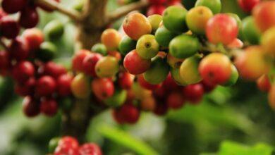 Yara e IAC obtém bons resultados em pesquisa com fertilizantes foliares em café e citros